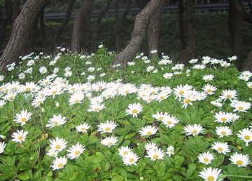 Nipponanthemum_nipponicam