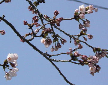 Sakura416