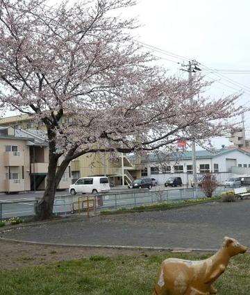 Aobasakura
