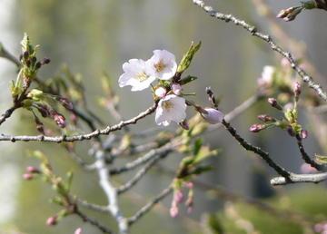 Sakura2007b